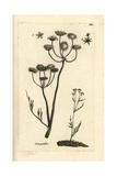 """Water Dropwort, Oenanthe Aquatica, From Pierre Bulliard's """"Flora Parisiensis,"""" 1776, Paris Giclee Print by Pierre Bulliard"""