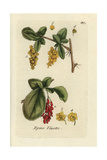 European Barberry, Berberis Vulgaris Giclee Print by Pierre Bulliard