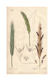 Rye, Secale Cereale, Wheat, Triticum Aestivum, And Ergot Or Spurred Rye, Secale Cornutum Giclee Print by G. Reid