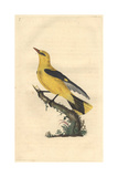 Golden Oriole From Edward Donovan's Natural History of British Birds, 1799 Reproduction procédé giclée par Edward Donovan