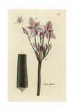 Flowering Rush, Butomus Umbellatus Giclee Print by Pierre Bulliard