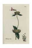 "Wild Basil, Clinopodium Vulgare, From Pierre Bulliard's ""Flora Parisiensis,"" 1776, Paris Giclee Print by Pierre Bulliard"