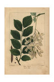 Yellow Wood Tree From Michaux's North American Sylva, 1857 Giclee Print by Henri Joseph Redouté