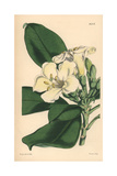 Obovate Leaved Fagraea, Fagraea Obovata Giclee Print by Walter Hood Fitch