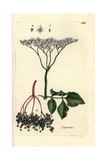 "Elderberry, Sambucus Nigra, From Pierre Bulliard's ""Flora Parisiensis,"" 1776, Paris Giclee Print by Pierre Bulliard"