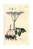 "Elderberry, Sambucus Nigra, From Pierre Bulliard's ""Flora Parisiensis,"" 1776, Paris Giclee Print by Pierre Bulliard"