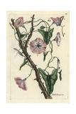 Field Bindweed, Convolvulus Arvensis Giclee Print by Pierre Bulliard