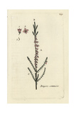 "Common Heather, Erica Vulgaris, From Pierre Bulliard's ""Flora Parisiensis,"" 1776, Paris Giclee Print by Pierre Bulliard"
