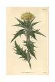 Yellow Distaff Thistle, Carthamus Lanatus Giclee Print by John Curtis