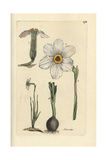 "Poet's Daffodil, Narcissus Poeticus, From Pierre Bulliard's ""Flora Parisiensis,"" 1776, Paris Giclee Print by Pierre Bulliard"