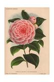 Pink Camellia Madame P. De Pannemaeker Giclee Print