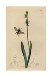 Epeolus Variegatus, Cuckoo Bee with Fly Ophrys, Ophrys Muscifera Giclee Print