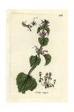 "Purple Archangel, Lamium Purpureum, From Pierre Bulliard's ""Flora Parisiensis,"" 1776, Paris Giclee Print by Pierre Bulliard"