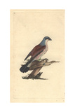 Red Backed Shrike From Edward Donovan's Natural History of British Birds, 1799 Reproduction procédé giclée par Edward Donovan