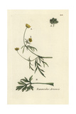 "Corn Buttercup, Ranunculus Arvensis, From Pierre Bulliard's ""Flora Parisiensis,"" 1776, Paris Giclee Print by Pierre Bulliard"