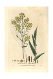 Dyer's Wood Or Woad, Isatis Tinctoria, From William Baxter's British Phaenogamous Botany, 1836 Giclee Print by Isaac Russell