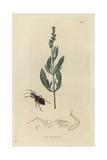 Coranus Subapterus, Sea-side Reduvius, And Sea Purslane, Atriplex Portulacoides Giclee Print by John Curtis