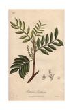 Mastic, Pistacia Lentiscus Giclee Print by G. Reid