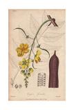 Golden Shower Tree, Cassia Fistula Giclee Print by G. Reid