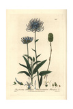 Round-headed Rampion, Phyteuma Orbiculare, From W. Baxter's British Phaenogamous Botany, 1836 Giclee Print by Isaac Russell