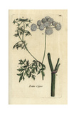 "Fool's Parsley, Aethusa Cynapium, From Pierre Bulliard's ""Flora Parisiensis,"" 1776, Paris Giclee Print by Pierre Bulliard"