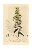 Common Goldenrod, Solidago Virgaurea, From William Baxter's British Phaenogamous Botany, 1837 Giclee Print by Isaac Russell