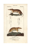 Bandicoots From Frederic Cuvier's Dictionary of Natural Science: Mammals, Paris, 1816 Giclee Print