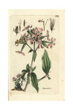 "Soapwort, Saponaria Officinalis, From Pierre Bulliard's ""Flora Parisiensis,"" 1776, Paris Giclee Print by Pierre Bulliard"