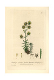 Yellow Mountain Saxifrage, Saxifraga Aizoides, From Baxter's British Phaenogamous Botany, 1836 Giclee Print by Charles Mathews