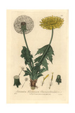 Common Dandelion, Taraxacum Officinale, From William Baxter's British Phaenogamous Botany, 1834 Giclee Print by Charles Mathews