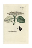 "Wayfaring Tree, Viburnum Lantana, From Pierre Bulliard's ""Flora Parisiensis,"" 1776, Paris Giclee Print by Pierre Bulliard"