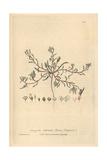 Sand Strapwort, Corrigiola Littoralis, From William Baxter's British Phaenogamous Botany, 1839 Giclee Print by Charles Mathews
