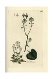 "Scurvygrass, Cochlearia Officinalis, From Pierre Bulliard's ""Flora Parisiensis,"" 1776, Paris Giclee Print by Pierre Bulliard"