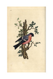 Bullfinch From Edward Donovan's Natural History of British Birds, London, 1799 Giclee Print by Edward Donovan