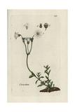 "Field Chickweed, Cerastrium Arvense, From Pierre Bulliard's ""Flora Parisiensis,"" 1776, Paris Giclee Print by Pierre Bulliard"