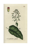 "Figwort, Scrophularia Nodosa, From Pierre Bulliard's ""Flora Parisiensis,"" 1776, Paris Giclee Print by Pierre Bulliard"