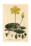 Fringed Waterlily, Villarsia Nymphaeoides, From W. Baxter's British Phaenogamous Botany, 1834 Giclee Print by Isaac Russell