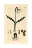 Snowdrop, Galanthus Nivalis, From William Baxter's British Phaenogamous Botany 1834 Giclee Print by Isaac Russell