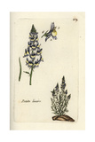 "Least Snapdragon, Antirrhinum Minus, From Pierre Bulliard's ""Flora Parisiensis,"" 1776, Paris Giclee Print by Pierre Bulliard"