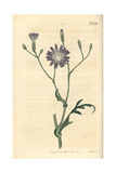 Perennial Lettuce, Lactuca Perennis Giclee Print by John Curtis