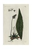 "Ribwort Plantain, Plantago Lanceolata, From Pierre Bulliard's ""Flora Parisiensis,"" 1776, Paris Giclee Print by Pierre Bulliard"