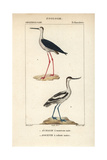 Stilt And Avocet From Sainte-Croix's Dictionary of Natural Science: Ornithology, Paris, 1816-1830 Reproduction procédé giclée