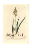 Lancashire Bog Asphodel, Narthecium Ossifragum, From Baxter's British Phaenogamous Botany, 1836 Giclee Print by Charles Mathews