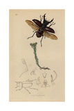 Lucanus Cervus, Stag Beetle in Flight, with Cudwell, Gnaphalium Germanicum Giclee Print by John Curtis