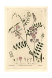 Wood Vetch, Vicia Sylvatica, From William Baxter's British Phaenogamous Botany, 1836 Giclee Print by H. Bidwell