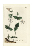 "Creeping Periwinkle, Vinca Minor, From Pierre Bulliard's ""Flora Parisiensis,"" 1776, Paris Giclee Print by Pierre Bulliard"
