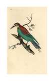Bee-eater From Edward Donovan's Natural History of British Birds, London, 1809 Reproduction procédé giclée par Edward Donovan