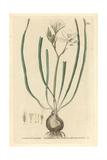 Star of Bethlehem, Ornithogalum Umbellatum, From W. Baxter's British Phaenogamous Botany, 1834 Giclee Print