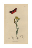 Callimorpha Jacobaeae, Tyria Jacobaeae, Cinnabar Moth And Caterpillar, with Ragwort Giclee Print by John Curtis