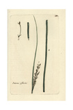 "Soft Rush, Juncus Effusus, From Pierre Bulliard's ""Flora Parisiensis,"" 1776, Paris Giclee Print by Pierre Bulliard"